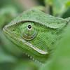 Chamäleon in grün