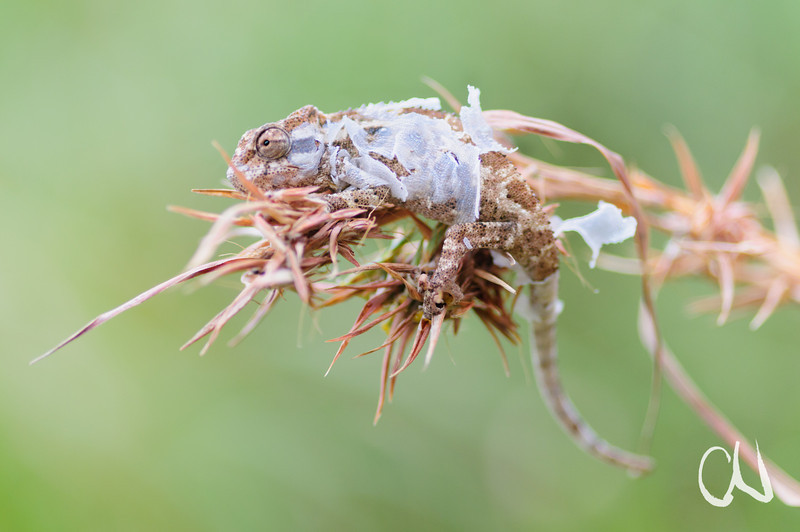 moulting Drakensberg Dwarf Chameleon sitting on a grass flowerhead, molt, skin, Bradypodion dracomontanum, sich häutendes Drakensberg Zwergchamäleon auf Grasblüte, Lotheni Nature Reserve, Drakensberge, Südafrika, South Africa
