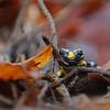 Feuersalamander, Salamandra salamandra, fire salamander, Wald, Tübingen, Baden-Württemberg, Deutschland, Germany