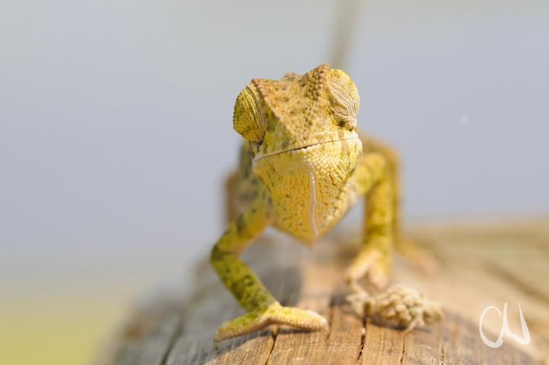 """""""blind"""" Flap-necked chameleon, Chamaeleo dilepis, """"blindes"""" Lappenchamäleon, Thalamakane River, Maun, Okavango, Delta, Botswana, Botsuana"""