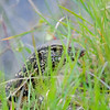 Nile Monitor, Water Monitor, Nilwaran, Varanus niloticus, Pilanesberg National Park, Südafrika, South Africa, Pilanesberg National Park, Nationalpark, Südafrika, South Africa