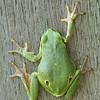 European tree frog, Laubfrosch auf einem Holzbrett, Hyla arborea, Amphibien, grün, Save-Auen, Naturpark Lonjsko Polje, Nature Park, Kroatien, Croatia, Balkan, Balkans, Save-Auen, Cigoc, Kroatien, Lonjsko Polje nature park, Balkan