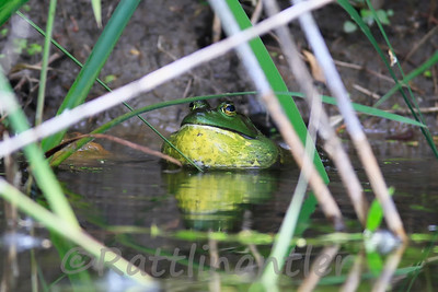 Bullfrog Singing