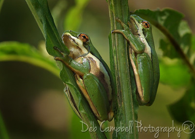 A pair of Green Tree Frogs Cades Cove Great Smoky Mountains
