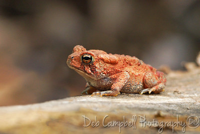 American Toad~Orange Phase