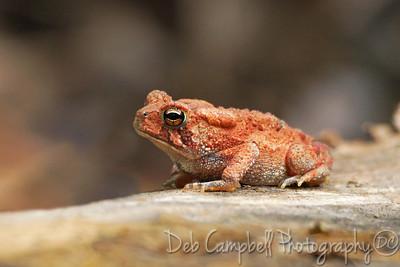 American Toad~Orange Phase