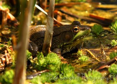 Bullfrog in pond Ijams Nature Center Knoxville, Tn