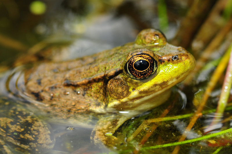 An American green frog along the shoreline of a lake, Wisconsin.