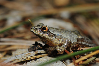 Spring peeper in Central Wisconsin.