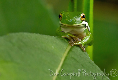 Green Tree Frog Cades Cove Great Smoky Mountains