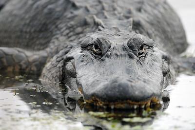 Large alligator lounging at Brazos Bend State Park.