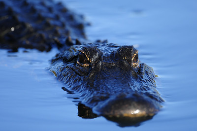 American alligator in a shallow Everglades pond.