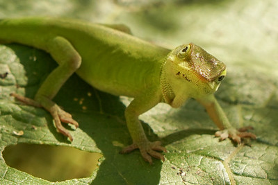 Anole Lizard (male)