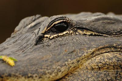 America alligator close-up, Everglades National Park.