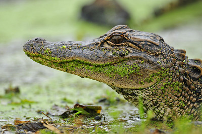 Young alligator covered in duckweed, Texas.