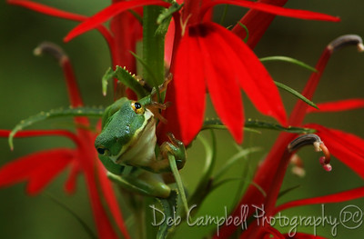 Green Tree Frog on Cardinal Flower  Cades Cove  Great Smoky Mountains