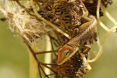 Anole Lizard (female)