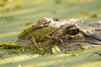 An American alligator lies in wait on Meritt Island National Wildlife Refuge, Florida.