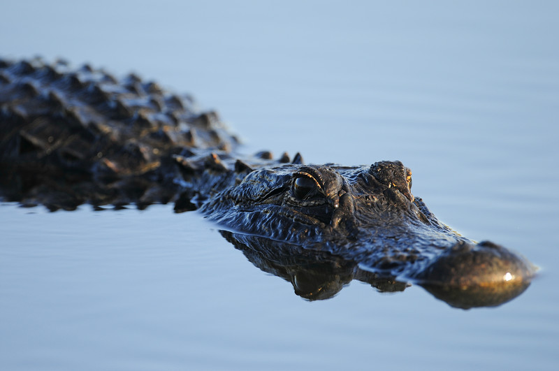 American alligator stalking a shallow marsh in Everglades National Park.