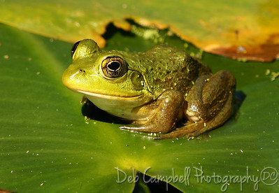 Frogs, Lizards and Salamanders