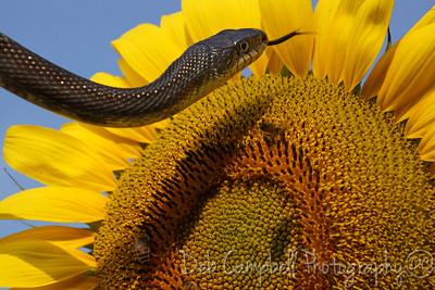 Serpent and the Sunflower