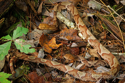 Pair of Copperhead Snakes
