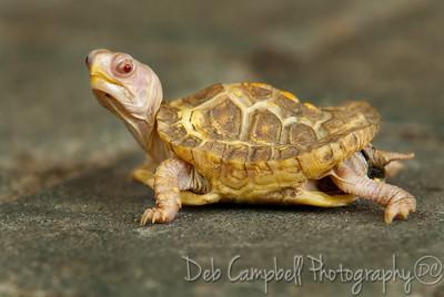 Albino Eastern Box Turtle Ijams Nature Center