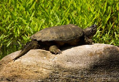 Snapping Turtle (Chelydra serpentina) Loudon County, Tn