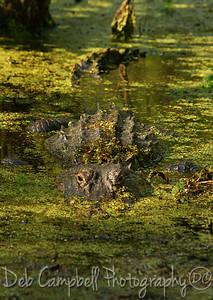 Alligator Audubon Swamp Charleston, SC