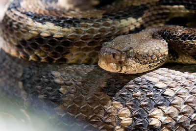 Timber Rattle Snake (Crotalus horridus Linnaeus)