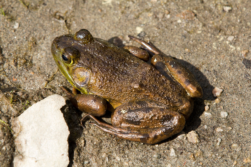 American Toad?