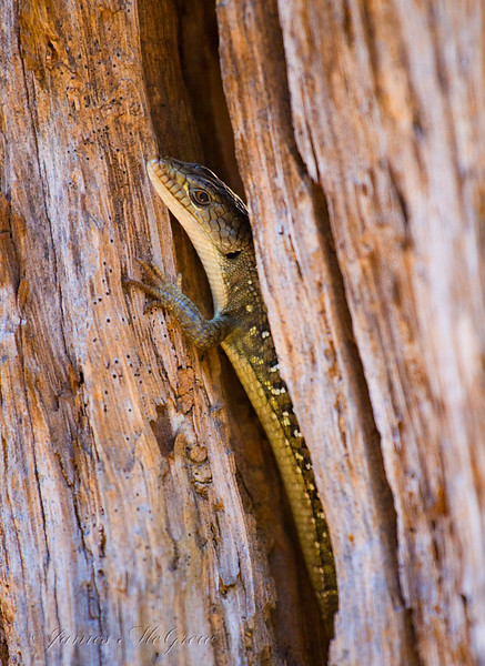 Southern Alligator Lizard, in upper Tenaya Canyon.  Copyright, ©2008  James McGrew