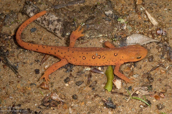 Eastern Spotted Newt - red eft