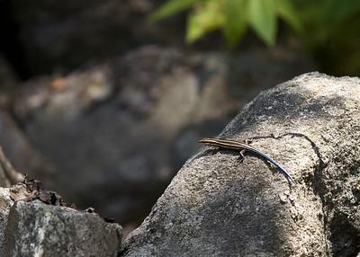 Striped Skink (Plestiodon fasciatus)