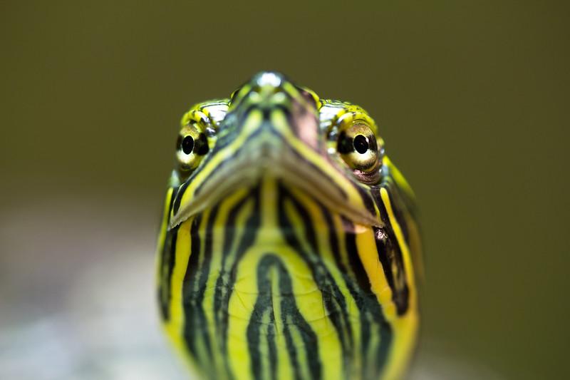 Box Turtle (Terrapene carolina) looks at me