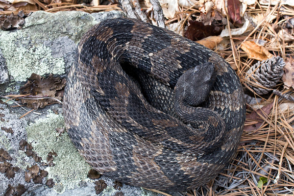 Same Timber Rattlesnake (Crotalus horridus Linnaeus)