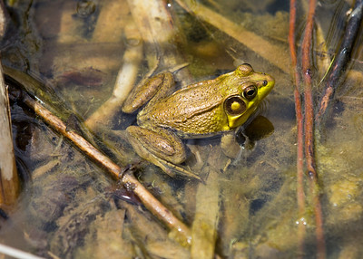 Frog (help me name this species!)