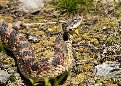Moulting Hognose Snake (Heterodon platirhinos)