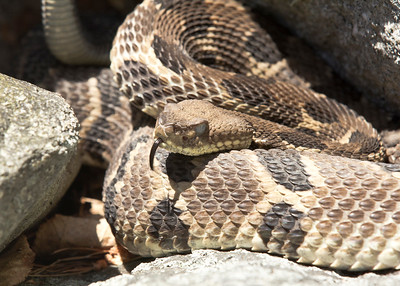 Timber Rattlesnake sniffing me out and shaking at me