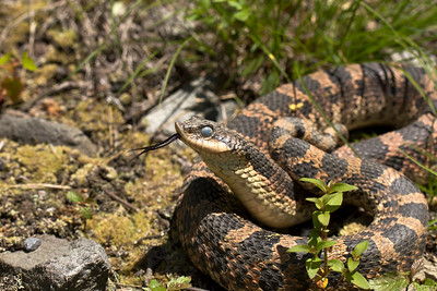 Moulting Eastern Hognose Snake (Heterodon platirhinos)