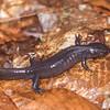 Jefferson salamander (Ambystoma jeffersonianum)