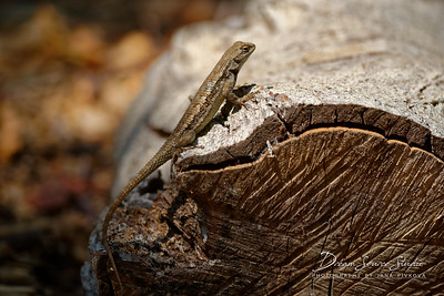 Sagebrush Lizard (Sceloporus Graciosus)