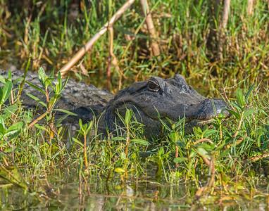 American Alligator, Anahuac National Wildlife Refuge, TX