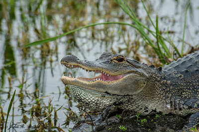 American Alligator thermoregulating