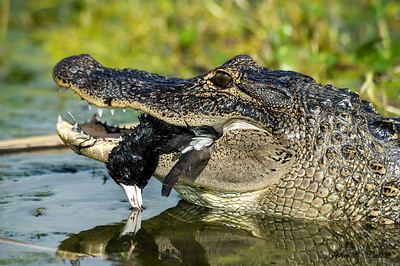 American Alligator eating coot