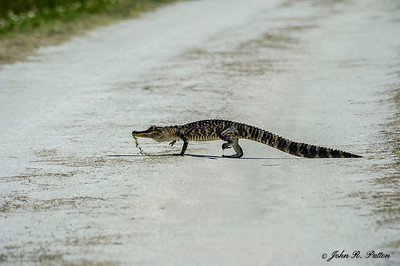 American Alligator crossing sand road