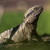 Australian water dragon (Intellagama lesueurii). Roma Street Parkland, Brisbane, Australia.