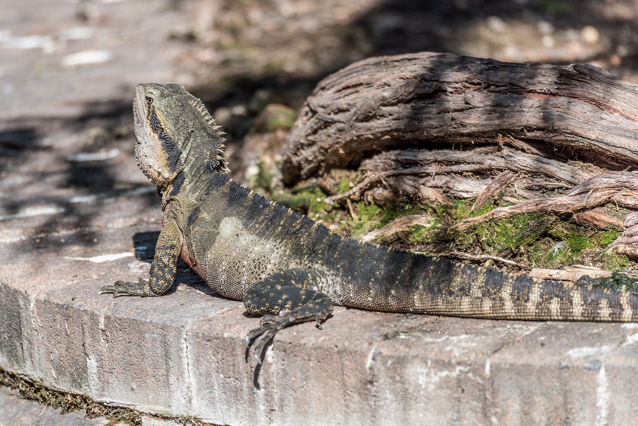 Australian water dragon (Intellagama lesueurii). Brisbane Botanic Garden, Australia.