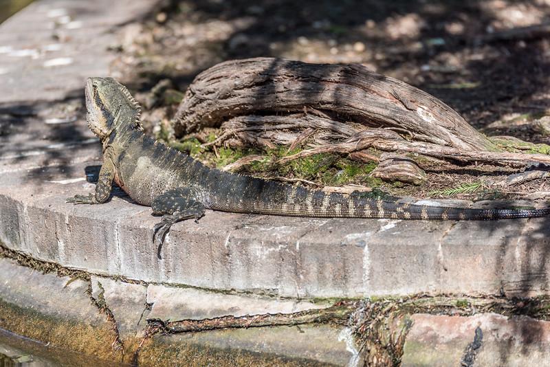 Australian water dragon (Intellagama lesueurii). Brisbane Botanic Garden, Australia.