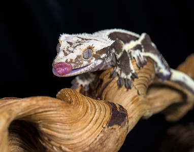 Crested Geck (Captive)